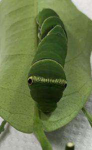 ナミアゲハ擬態ヘビ