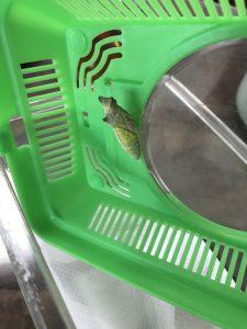 モリアゲハ蛹